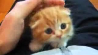 Cute Scottish Fold Kitten!