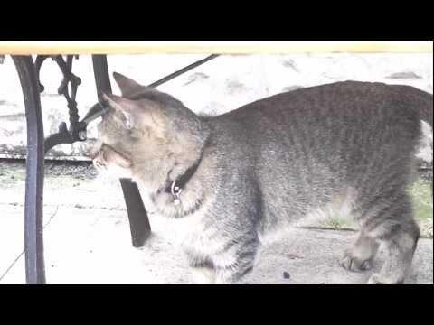 my desert lynx and pixiebob cats
