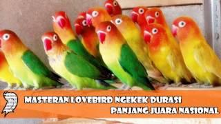 Terapi Masteran Lovebird Ngekek Durasi Panjang Juara Nasional