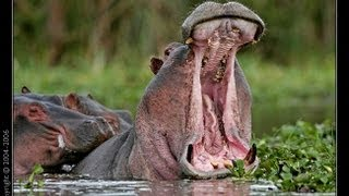 Angry Hippo meets the Wildlife Man