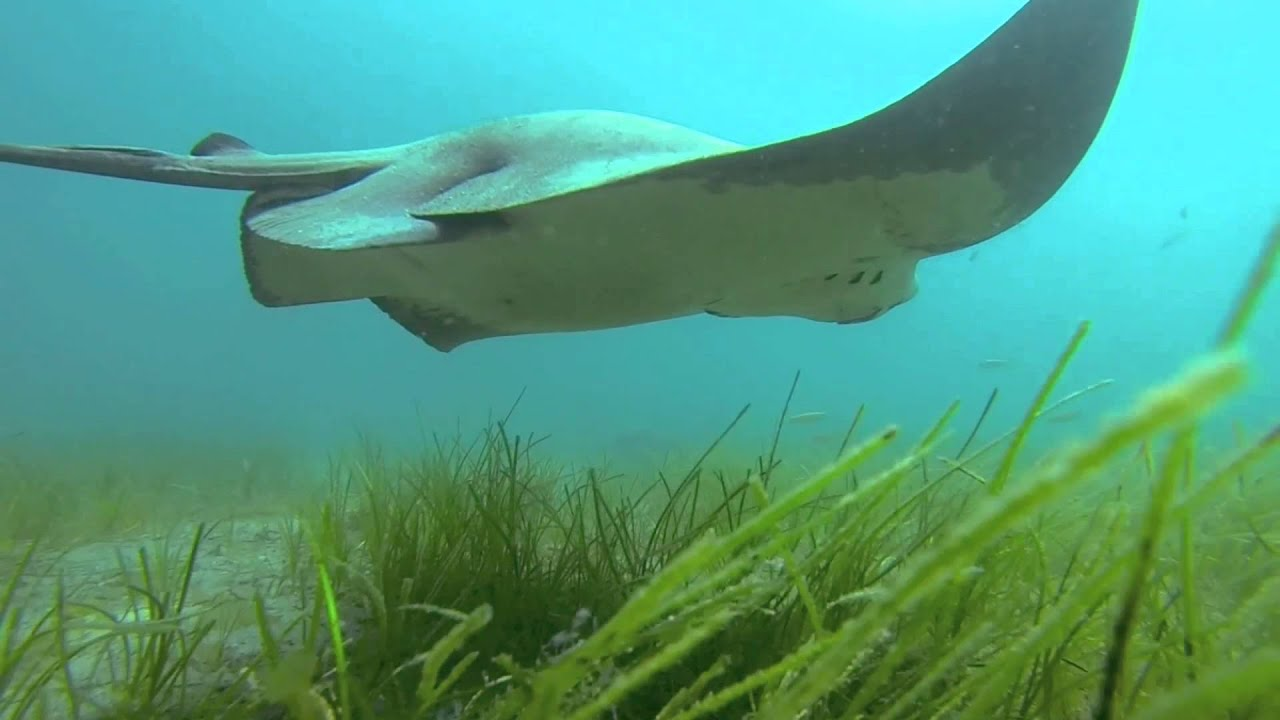 freediving with bat rays on catalina island youtube