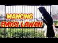 Kacer Gacor Full Tembakan Memancing Lawan Emosi Hobi Kita  Mp3 - Mp4 Download