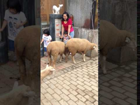 Surrounded by Corriedale Lamb in Taiwan