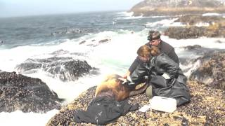 Dramatic Rescue of Sea Lions from Plastic thumbnail