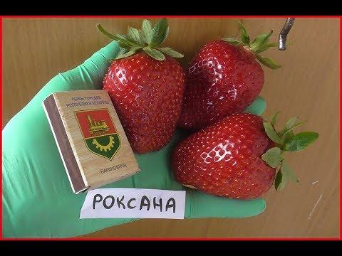 РОКСАНА -проверенный итальянский сорт высокоурожайной клубники. / 12.06.19..