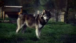 ||Волк отомстил,но отомстил без крови||Рассказ~слушать(обяз.)Трогательно.