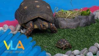 Patas estiradas tortuga traseras
