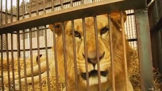 Защитники животных освободили трёх львов из перуанского цирка (видео) (новости)