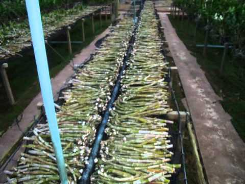 Orchid Farm Khon Kaen Thailand You