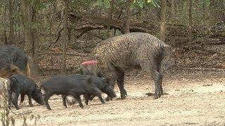 CNTV-Shiloh Ranch Boar Hunt, Part 1