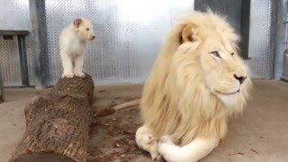 Toronto Zoo's Lion Cubs with Dad Fintan