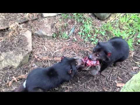 tasmanian devils and wombats youtube