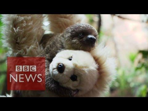 Cute Alert: Teddy bear helps 'raise' a sloth - BBC News