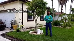 Ficus WhiteFly Control Systemic Treatment NaturePest 786-222-7069