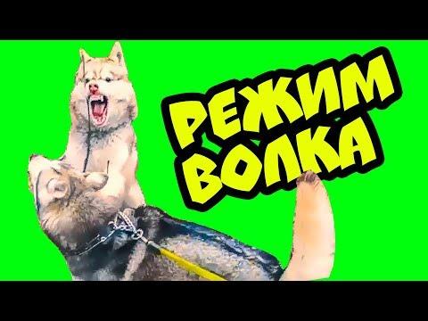 РЕЖИМ ВОЛКА! (Хаски Бублик) Говорящая собака Mister Booble