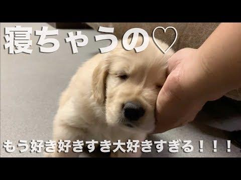 よしよしすると眠ってしまうゴールンレトリバーの子犬 golden retriever puppy fall asleep
