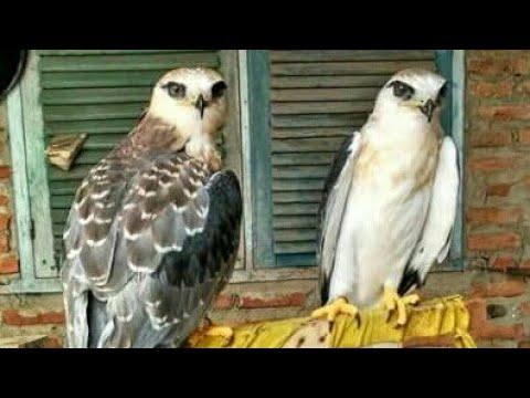 Melatih Burung Alap - Alap Jumono (kestrel)
