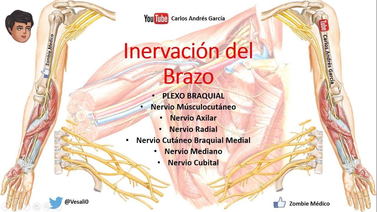 Anatomía - Plexo Braquial (Ramos Colaterales, Terminales, Trayecto ...