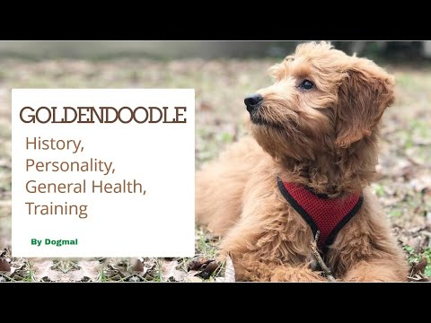 Goldendoodle - The Designer Cross Breed of Golden Retriever  and Poodle