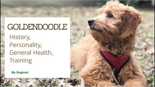 Goldendoodle  The Designer Cross Breed of Golden Retriever  and Poodle
