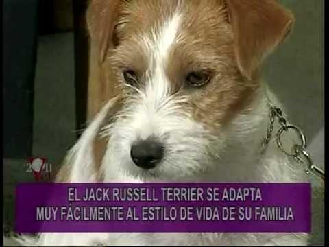 PORTESE BIEN SEA ANIMAL Jack Russell Terrier El Perro