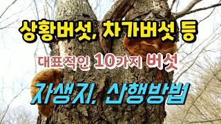 상황버섯 차가버섯 등 대표적인 10가지 버섯 자생지, …