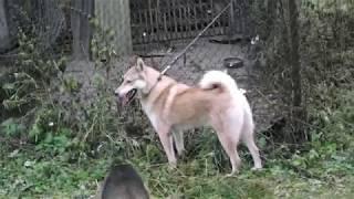 щенок западно сибирской лайки, начал работать