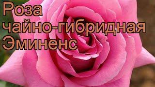 Роза чайно-гибридная Эминенс (rose eminens) ???? роза Эминенс обзор: как сажать саженцы розы Эминенс