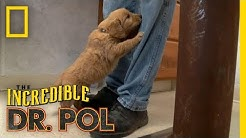 A Puppy Paradise | The Incredible Dr. Pol