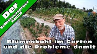 Blumenkohl im Garten und die Probleme damit