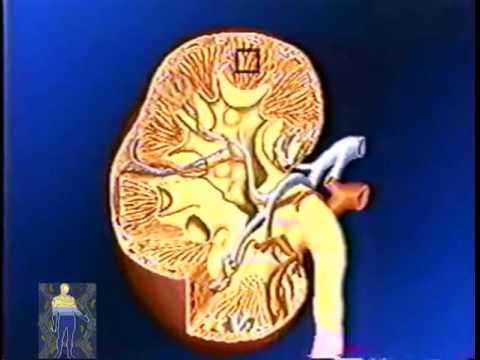 ЧЕЛОВЕК  - анатомия - ПОЧКИ...