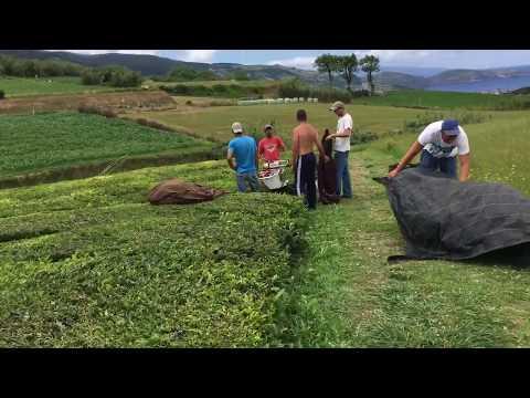 Europes Only Tea Plantation - Harvest Time