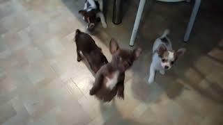 Купить щенка чихуахуа в питомнике. Москва. РКФ. 8-905-546-66-92