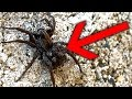 Amazing Spider Mum And Spiderling Baby Spiders So Cute