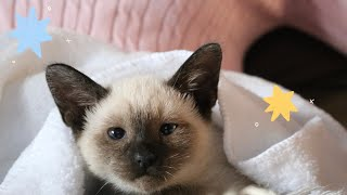 surprising my mom with a siamese kitten.