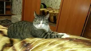 Кошка породы Менкс
