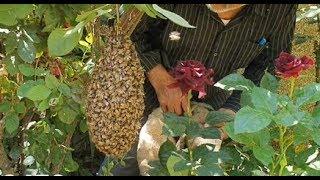 خلية نحل عسل تستقر امام منزل وتسمى (طرد) وتشكل خطر على الاطفال مع جمال العمواسي