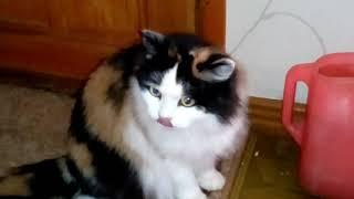 Сибирская красавица