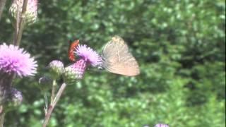 Die Distel als Lebensraum für Schmetterlinge im August