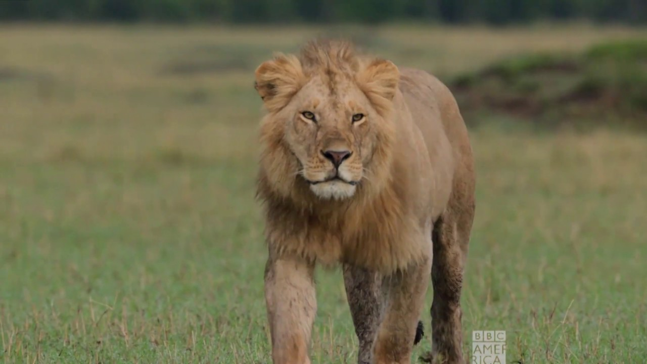 Download Lions vs. Hippo   Dynasties Saturdays at 9pm   BBC America