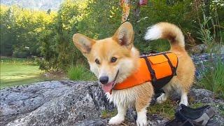 Welsh corgi learning how to swim at Bohinj lake