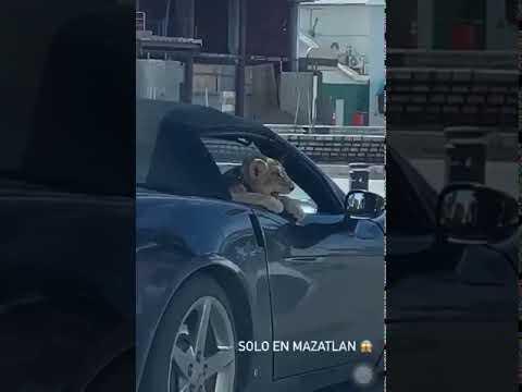Pasean cachorro de león por malecón de Mazatlán