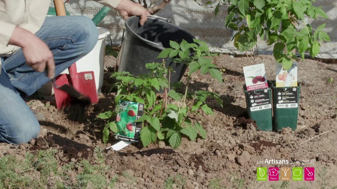Comment planter un framboisier ? - YouTube