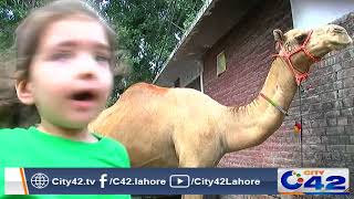 Children engaged in care of animals due to Bakra Eid