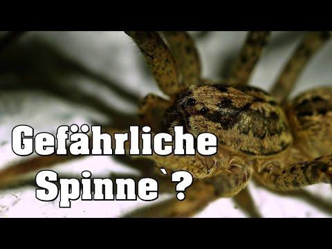 Gefährliche Spinne in Deutschland - Kräuseljagdspinne