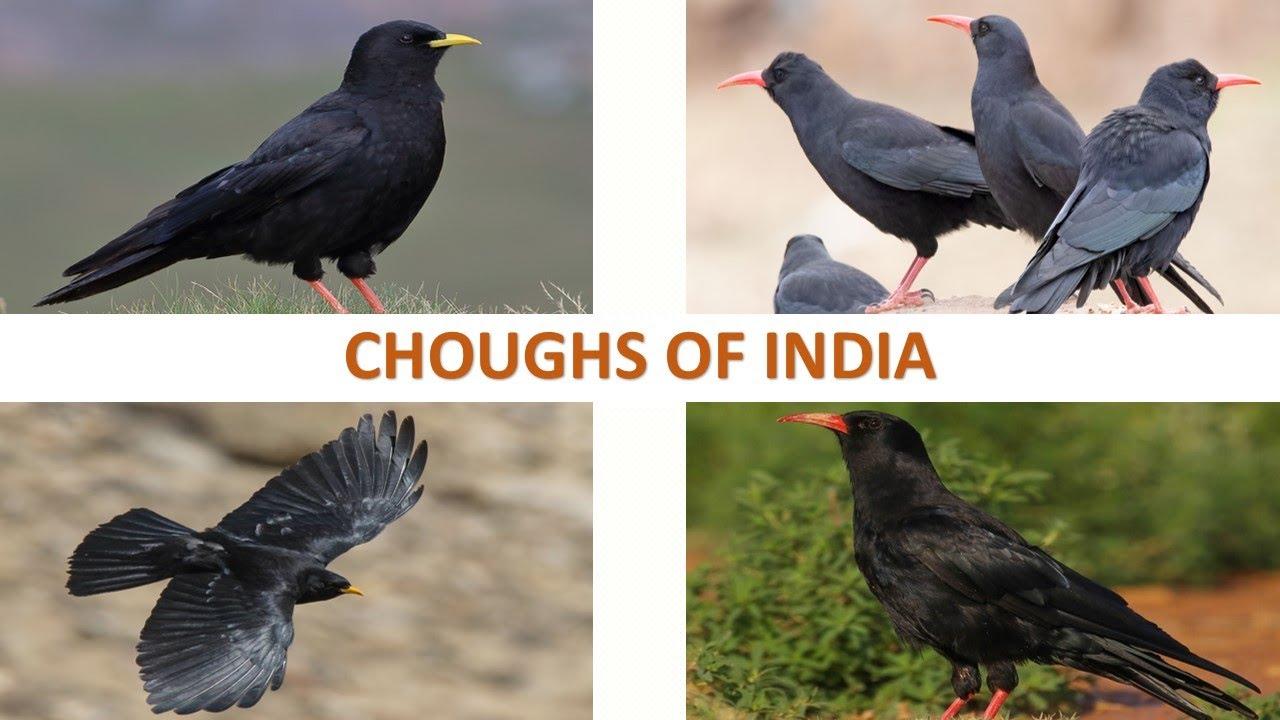 Choughs of India 🇮🇳   Birds   Indian Birds