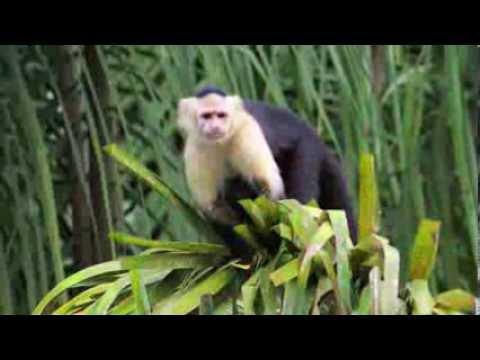 MONKEY WATCH on the PANAMA CANAL,  Gatun Lake - RIPPER FILMS