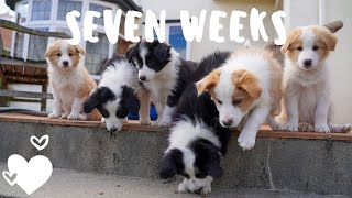 Day in the life with seven week old border collie puppies