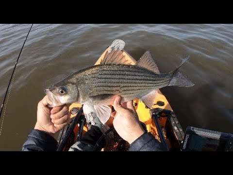 Hybrid Striped Bass, Very Tough Fishing Lake Conroe TX