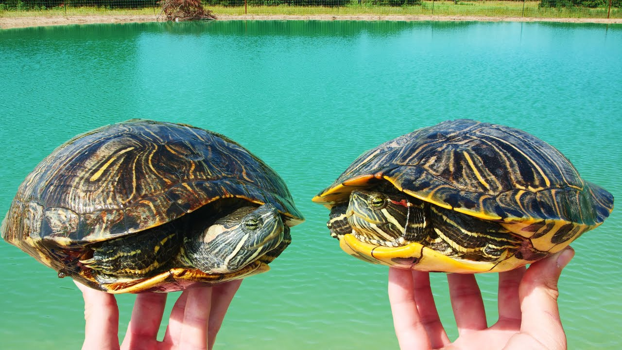 Moving the Turtles to Their New Ponds!